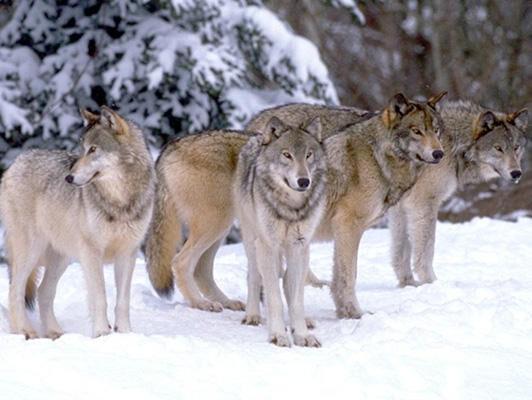 A bükki farkasok nyomában